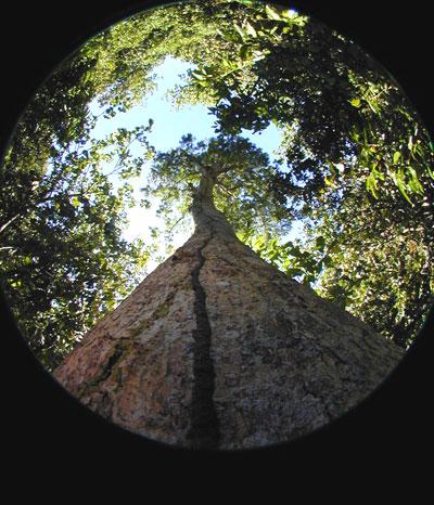Hayun-Lagu-Tree-1000px