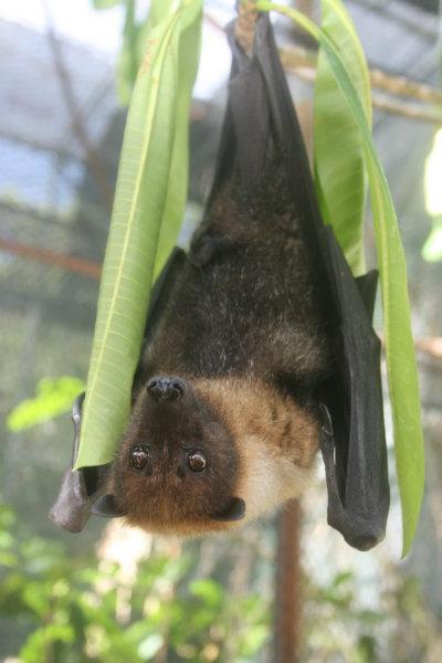 Mariana_Fruit_Bat